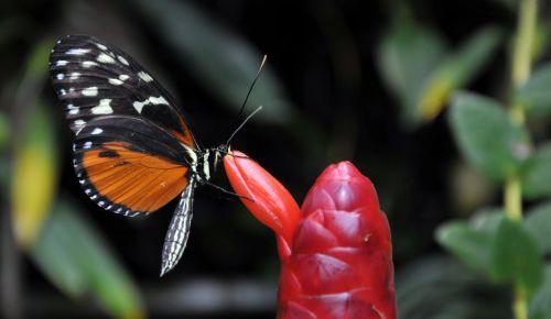 drugelis, drugeliai, klaida, monarchas, monarchas & nbsp, drugelis, vabzdys, vikšras, sparnas, sparnai, lapai, Iš arti, Iš arti, uždaryti & nbsp, modelis, gamta, gražus, ruda, auksas, geltona, raudona, gėlė, budas, augalas, sodas, lauke, monarchas ir raudonas pumpuras