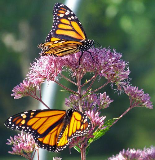 monarchas, drugelis, drugeliai, gėlė, monarcho drugeliai ant gėlės