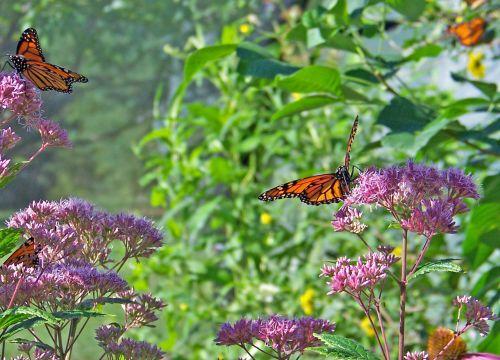 monarchas, drugelis, drugeliai, gėlė, gėlės, monarcho drugeliai ant gėlių