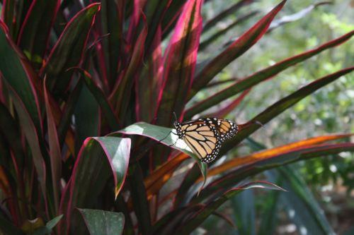 monarchas, drugelis, monarchas & nbsp, drugelis, sparnai, skristi, augalas, monarcho drugelis