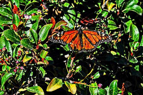 monarchas & nbsp, drugelis, drugelis, augalas, pavasaris, vabzdys, klaida, meno, ruda, juoda, monarcho drugelis