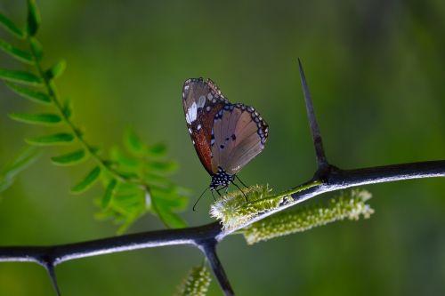 monarcho drugelis,drugelis ant kamieno,drugelis su žalia fone