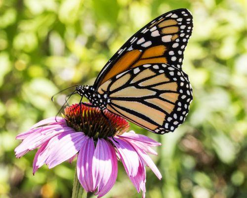 monarchas & nbsp, drugelis, dygliuota veislė, modelis, ramybė, ryškus, apsvaiginimo, spalvinga & nbsp, laukinė gamta, entomologija, drugeliai, milkweed & nbsp, drugelis, monarcho drugelis