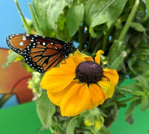 monarchas, monarchas & nbsp, drugelis, drugelis, drugeliai, geltona, vabzdžiai, monarcho drugelis