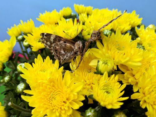 monarchas, monarchas & nbsp, drugelis, drugelis, drugeliai, geltona, vabzdžiai, gėlė, gėlės, monarcho drugelis
