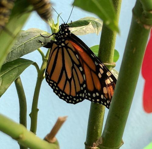monarchas, monarchas & nbsp, drugelis, drugelis, drugeliai, vabzdžiai, augalas, augalai, gamta, monarcho drugelis