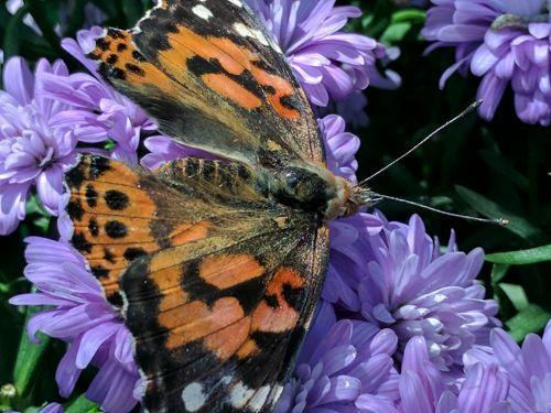 monarchas, monarchas & nbsp, drugelis, drugelis, drugeliai, gėlė, gėlės, violetinė, uždaryti & nbsp, monarcho drugelis