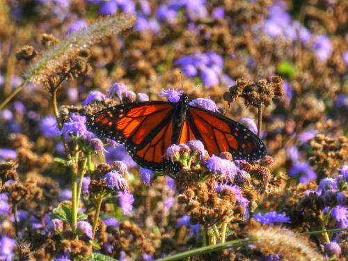 drugelis, drugeliai, monarchas, monarchas & nbsp, drugelis, vabzdys, gamta, lauke, sodas, gėlės, violetinė, meno, monarcho drugelis