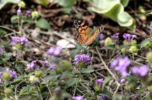 drugelis, drugeliai, violetinė, gėlė, gėlės, gamta, sodas, sodininkystė, monarchas, monarchas & nbsp, drugelis, monarcho drugelis
