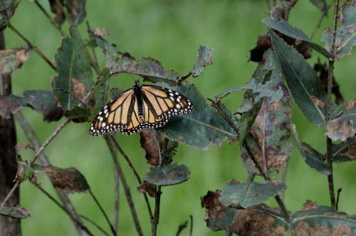 drugelis, drugeliai, gamta, sodas, sodininkystė, monarchas, monarchas & nbsp, drugelis, klaida, vabzdys, vikšras, transformacija, žalias, augalas, lapai, filialai, monarcho drugelis