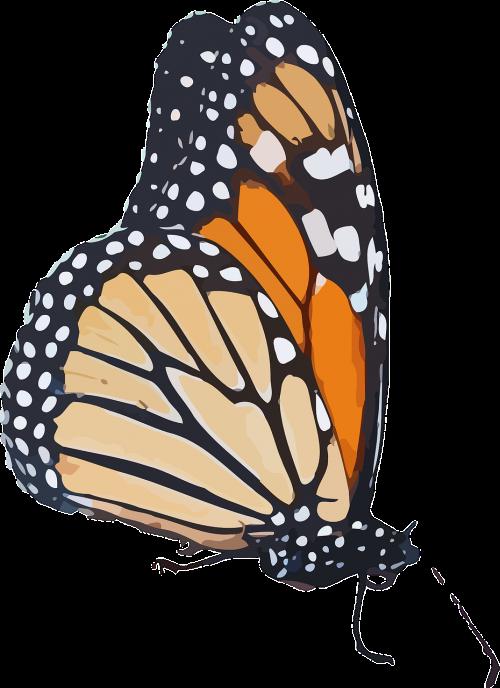monarcho drugelis,danaus plexippus,pieno vaisių drugelis,danainae,nymphalidae,gyvūnas,drugelis,vabzdys,gamta,nemokama vektorinė grafika