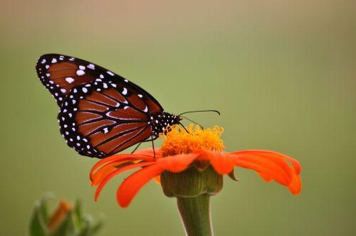 monarcho drugelis,drugelis,saulėgrąžos,oranžinė,vabzdžiai,taikus,gamta,sparnai,izoliuota drugelis,makro,klaida,vabzdys,gėlė,sodas,trapi,subtilus,žalias,spalvinga