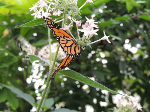 monarcho drugelis,danaus plexippus,drugelis,gyvūnas,vabzdys,oranžinė,makro