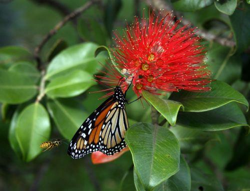 monarcho drugelis,danaus plexippus,isp,gėlė,žydėti,augalas,metrosideros collina,tahiti,vabzdžiai,žiedadulkės,spalvinga