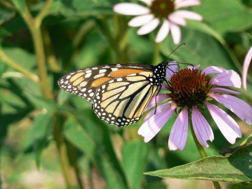 monarcho drugelis,dygliuota veislė,danaus plexippus,vabzdys,gėlė,žydėti,žiedas,augalas,spalvinga,gėlių,klaida
