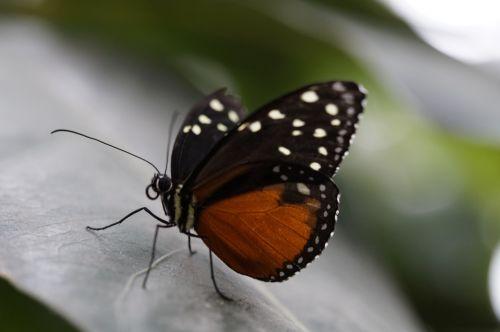 monarcho drugelis,drugelis,atogrąžų,egzotiškas,atogrąžų namas,drugelis namas,lapai,sparnas,skleisti,oranžinė,monarchas,taškai