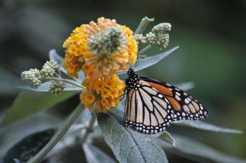 monarchas & nbsp, drugelis, monarchas & nbsp, drugeliai, drugelis, drugeliai, gėlė, gėlės, geltona, sparnų laikiklis, sparnai, auksas, juoda, ruda, vabzdys, monarcho drugelis laipiojimo gėlės