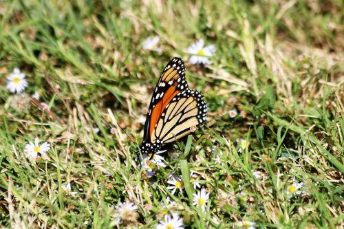 gamta, laukinė gamta, gyvūnai, vabzdžiai, drugelis, monarchas, monarchas & nbsp, drugelis, sparnai, juodas & nbsp, oranžinis & nbsp, drugelis, sipping, gerti, nektaras, balta & nbsp, gėlė, balta & nbsp, laukinės spalvos, mažos & nbsp, gėlės, žalia žolė, Iš arti, monarcho drugelis žolėje
