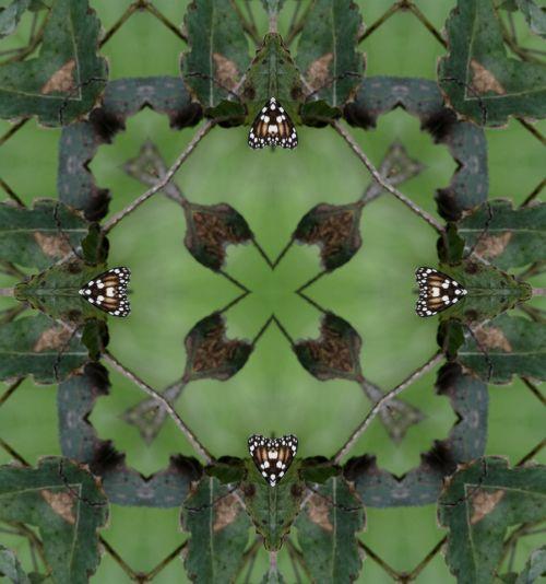 fonas, tapetai, žalias, drugelis, drugeliai, monarchas, monarchas & nbsp, drugelis, vabzdžiai, klaidas, dizainas, modelis, gamta, simetrija, kvadratas, pavasaris, augalas, augalai, monarcho drugelio kaleidoskopas