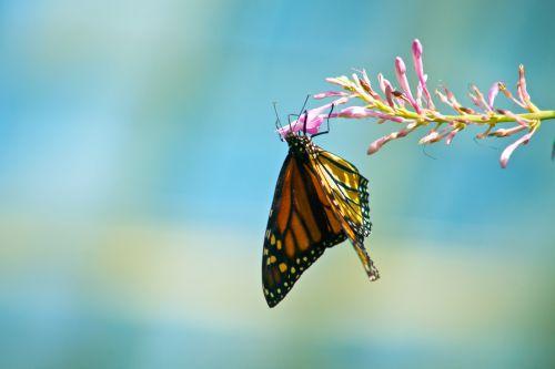 androkonio, antena, drugelis, konservatorija, danaus & nbsp, plexippus, danus, gėlė, vabzdys, pieneliukas, milkweed & nbsp, drugelis, monarchas, monarchas & nbsp, drugelis, nektaras, Phipps, Plexippus, kepsnys, keliautojas, klajojantis & nbsp, drugelis, monarcho drugelis ant gėlės