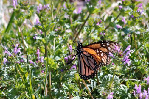 gamta, laukinė gamta, gyvūnai, vabzdžiai, drugelis, monarchas, monarchas & nbsp, drugelis, oranžinė & nbsp, juoda & nbsp, drugelis, sipping, gerti, nektaras, violetinės & nbsp, gėlės, violetinės spalvos & nbsp, laukinės spalvos, henbit, piktžolės, violetinė & nbsp, piktžolė, šalies laukas, pavasaris, monarcho drugelis ant violetinės linijos