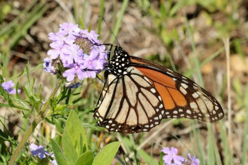 gamta, laukinė gamta, gyvūnai, vabzdžiai, drugelis, monarchas, monarchas & nbsp, drugelis, oranžinė & nbsp, juoda & nbsp, drugelis, sipping, gerti, nektaras, violetinės & nbsp, gėlės, violetinės spalvos & nbsp, laukinės spalvos, šalies laukas, pavasaris, drugelis & nbsp, sparnai, Oklahoma & nbsp, wildflower, monarcho drugelis laukinės spalvos