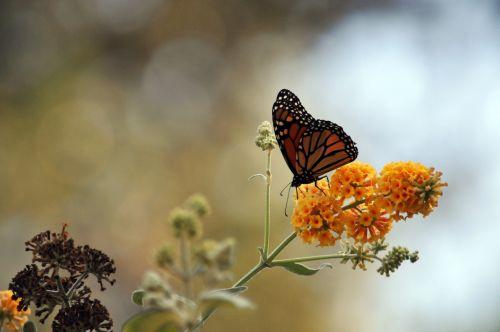 monarchas & nbsp, drugelis, drugelis, drugeliai, gėlė, gėlės, gėlių, geltona, augalas, sodas, monarcho drugelis ant geltonų gėlių