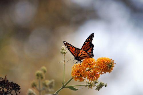 monarchas & nbsp, drugelis, monarchas & nbsp, drugeliai, drugelis, drugeliai, gėlė, gėlės, geltona, sparnų laikiklis, sparnai, auksas, juoda, ruda, vabzdys, monarcho drugelis ant geltonų gėlių