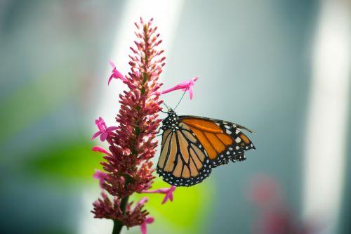 androkonio, antena, drugelis, drugelis & nbsp, kambarys, konservatorija, danaus & nbsp, plexippus, danus, gėlė, vabzdys, pieneliukas, milkweed & nbsp, drugelis, monarchas, monarchas & nbsp, drugelis, nektaras, Phipps, Plexippus, kepsnys, keliautojas, klajojantis & nbsp, drugelis, monarcho drugelis rožinė gėlė