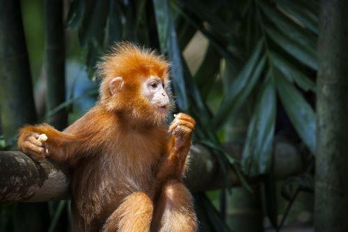 beždžionė,raudona,primatai,jungaffe,jaunasis beždžionė,beždžionių portretas,beždžionė,raudonas kailis