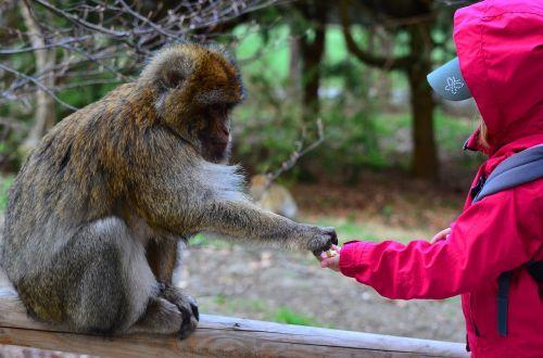 beždžionė,vaikas,gyvūnas,Draugystė,dalys,pasitikėjimas