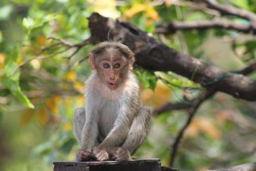 Beždžionė, Gyvūnas, Asija