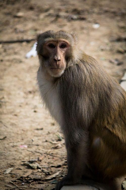 beždžionė,kelti,fotografija