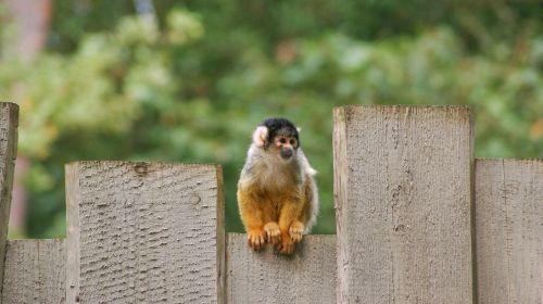 beždžionė,voverės beždžionė,gyvūnas,laukinė gamta,žinduolis,gamta,mielas,zoologijos sodas,veidas,laukiniai,žavinga,primatas,kūdikis,safari,paprastoji voverė-beždžionė,voverė beždžionė,mažas beždžionė