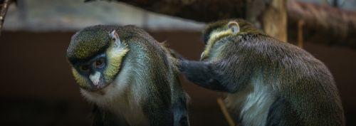 beždžionė,gyvoji gamta,pirmenybė,gyvūnai