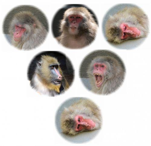 portretai, beždžionė, veidai, beždžionės, beždžionių veidai