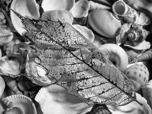vienspalvis,juoda ir balta,natiurmortas,lapai,kriauklės,tekstūra,natiurmortas,mokslas,sumaišytas