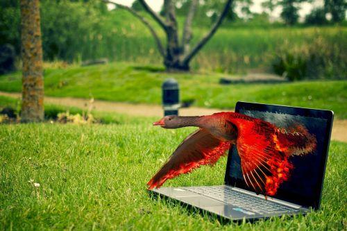 pc, žolė, nešiojamojo kompiuterio, kompiuteris, stebėti, klaviatūra, paukštis, raudona, žąsis, verslas, atsipalaidavimas, poilsis, Photoshop kompiuterio diegimas