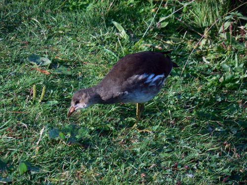 Moorhen,paprastas barzdas,gallinula chloropus,ralle,jaunas paukštis,vandens paukštis,gamta,tvenkinys,paukštis,geležinkelio paukštis