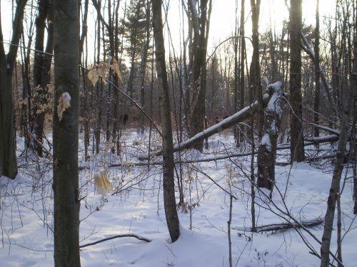 briedis, miškas, žiema, sniegas, briedis miške