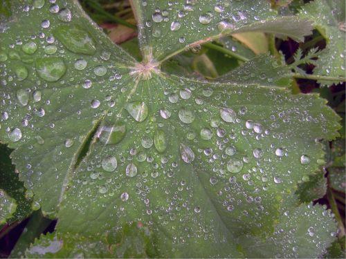 Morgentau,gėlė,vasara,sodas