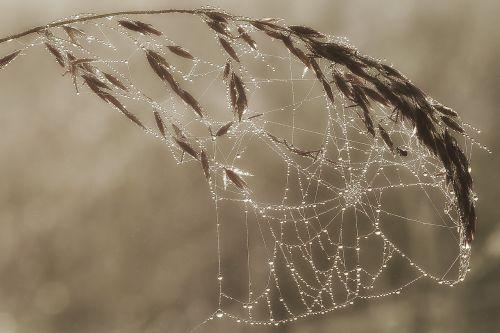 Morgentau in the urbot,rasos rasos,voratinklis,Morgentau,rasa,vorai,karoliukas,uogos,voras su vandens karoliukais,lašelinė
