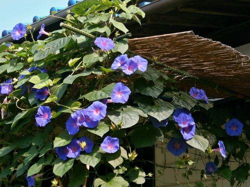 ryto šlovė,mėlynos gėlės,vasaros gėlės,vasara,giedras dangus,vasara Japonijoje,kaimo namai
