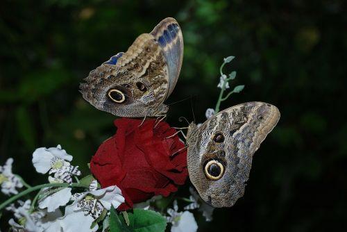 Morpho peleides,kaligotas,eurilochus,drugelis,gyvūnas,drugeliai,vabzdys,vabzdžiai