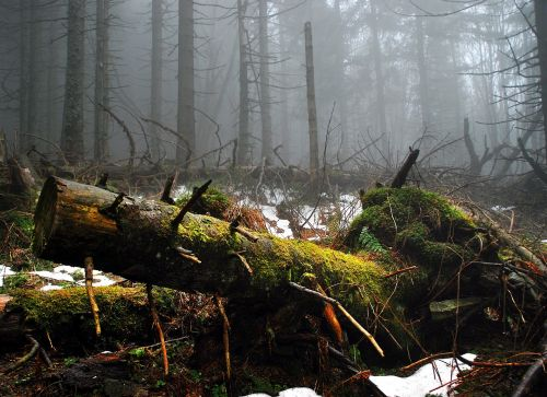 samanos,medis,miškas,kalnai,išmestas,bagažinė,laukinėje gamtoje,konary,originalas,Eime,rūkas,tyla,šikšnosparniai augalai,kraštovaizdis,beskidai