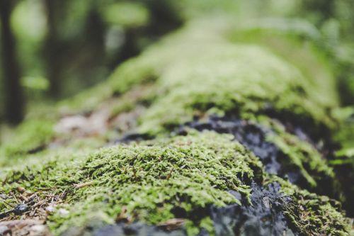 samanos,miškas,žemė,gamta,grybai,žalias,kelmas,žurnalas,kerpės,samanos fliegenplizas,augalas,medis,vanduo