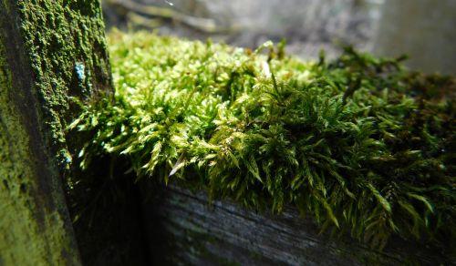 samanos,tvora,medžio tvora,senas,moosbedeckt,tvora moosbedeckt,senu tvora,moss holzzaun,žalias,tvora seni,ištemptas,ištemptas tvora,išvalytas medinis tvora,Uždaryti