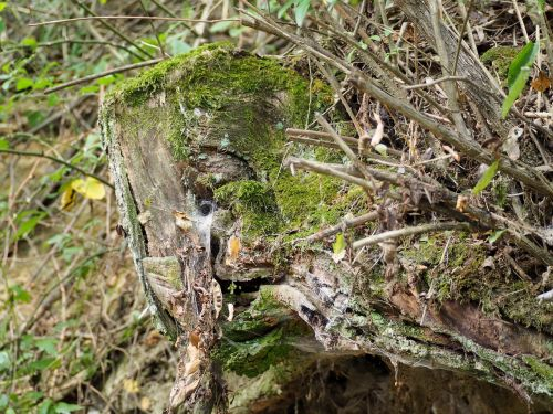 samanos,mediena,miškas,žurnalas,gamta,pinti ištemptas,purus,negyvas medis,natūralus medis būgnas,senas,medis,struktūra,fonas,žalias,žievė
