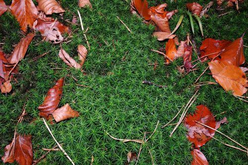 samanos,kritimo lapija,žalias,raudona ruda,ruda,miškas,ruduo,lapai