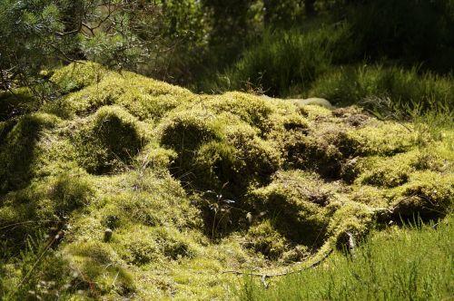 samanos,samanos,bemoost,žemės augalija,augmenija,flora,Švedija,žalias,atviroje jūroje,kranto,Haunting,idiliškas,užteršimas,samanos